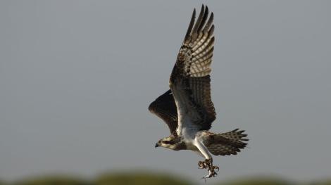 Un ejemplar de águila pescadora. | JL Ojeda. Fundación Migresa