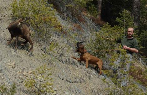 Uno de los perros adiestrados, durante la investigación.   Roberto Permunian/CSIC
