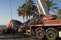 Rorcual común varado en Marbella. | SINC
