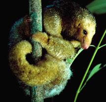 Oso hormiguero en Panamá. | Nature