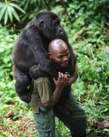 Un forestal traslada a un gorila. | Afp