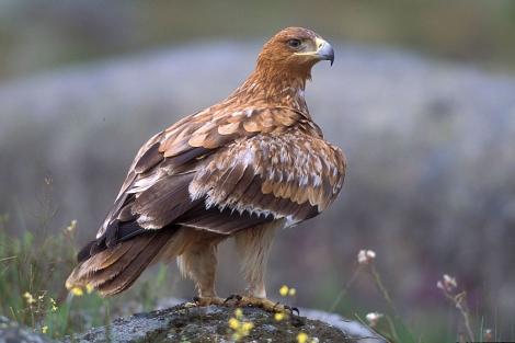 Ejemplar adulto de águila imperial ibérica. | J. Martín Simón
