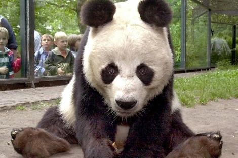 El oso panda macho BaoBao en el zoo de Berlín en el 2000. |Afp