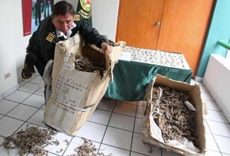 Los polícias cargan las cajas de caballitos de mar incautadas.   Paolo Aguilar