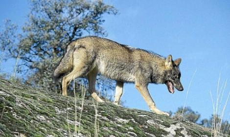 Un ejemplar de lobo ibérico. | EM