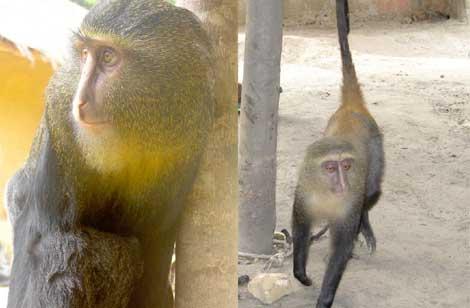 Un ejemplar macho adulto de 'C. lomamiensis' (i) y una hembra (d).| Emetshu/Hart