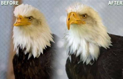 Imagen del águila antes y después de ser operada. | Birds of Prey Northwest