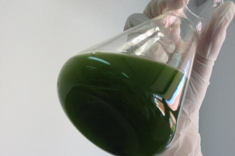 La microalga Chlorella, una de las empleadas en los productos.   Aina