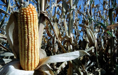 Cultivo de maíz transgénico.   Gustavo Catalán