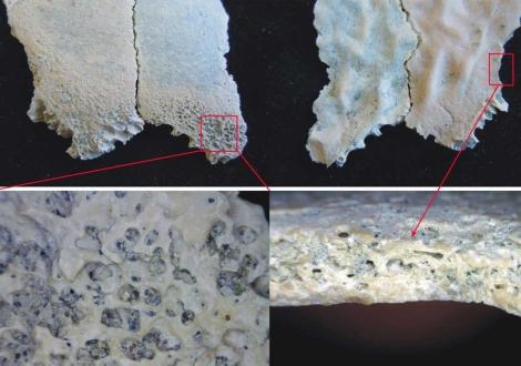 Fragmento del cráneo descubierto con evidencias de anemia.   Manuel Domínguez-Rodrigo