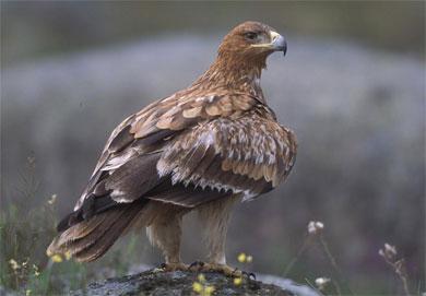 Aguila imperial ibérica. | J. Martín Simón
