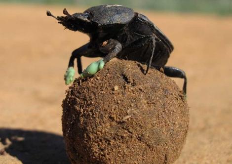 Escarabajo observado en la investigación con las 'botas' de silicona. | Wits University