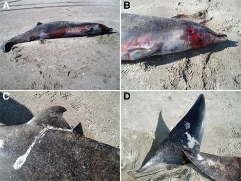 Fotos del zifio de Travers tomadas en la playa de Opape. (A y B) Hembra adulta. (C) Aleta y (D) cola de la cría, un macho. | Departamento de Conservación de Nueva Zelanda.