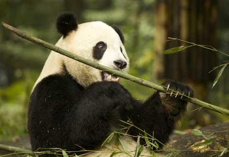 Un panda gigante en China.   Martha de Jong-Lantink.