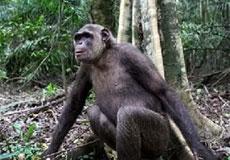 Bichica, en la selva de Tchindzoulou.   IJG/F.T.