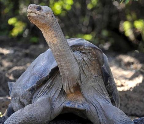 La tortuga 'Solitario George'. | AFP