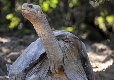 La tortuga 'Solitario George'.   AFP