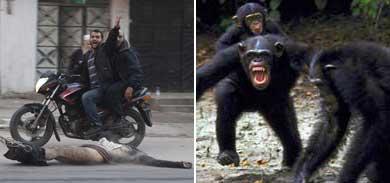 Violencia en seres humanos y chimpancés. | Efe/OSF