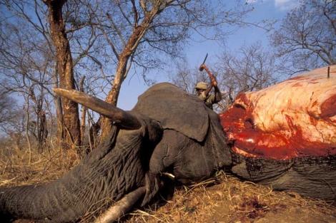 Caza de elefantes en Botsuana.   El Mundo