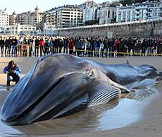 El cetáceo, en la playa.   Efe
