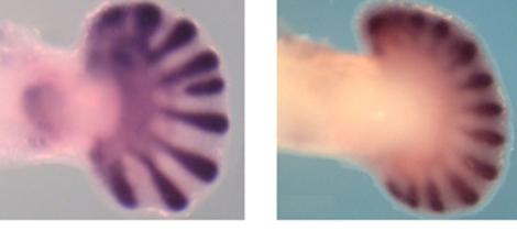 Los investigadores lograron aumentar el número de dedos a través del modelo. | CSIC