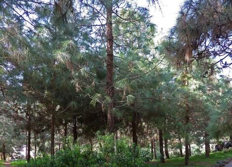 Ejemplares de pino canario en la isla de Gran Canaria.   EM