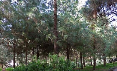 Ejemplares de pino canario en la isla de Gran Canaria. | EM