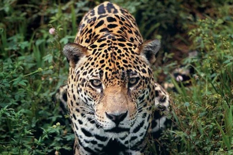 Un jaguar ('Panthera onca'. | F. Colombini)