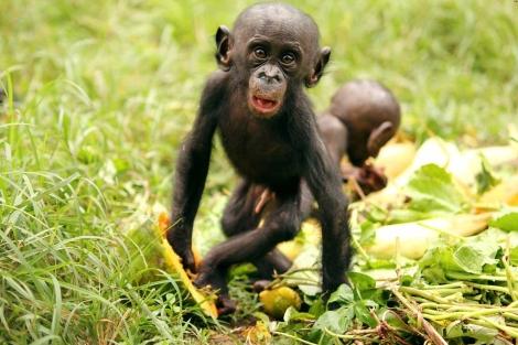 Un bebé bonobo ('Pan paniscus') con papayas. | Jingzhi Tan