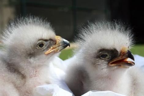 Dos pollos de águila perdicera. | EFE