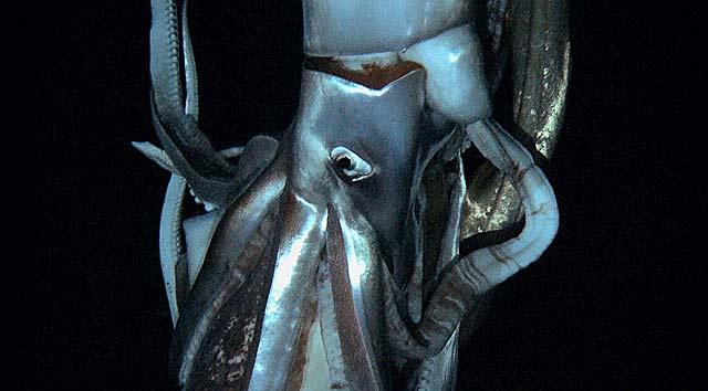 Imagen del calamar gigante captada de un vídeo de NHK y Discovery Channel.   Afp