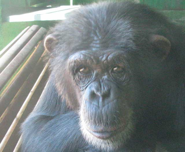 La chimpancé Gina, en el zoo de Sevilla. | Pablo Herreros