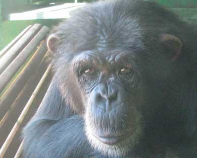 La chimpancé Gina, en el zoo de Sevilla.   Pablo Herreros