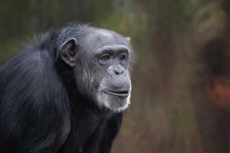 Uno de los chimpancés utilizados en este estudio.| Emory University.