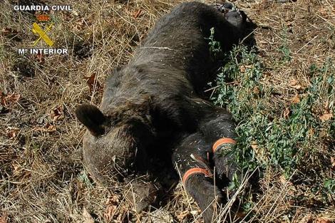 El oso pardo muerto en Asturias. | ELMUNDO