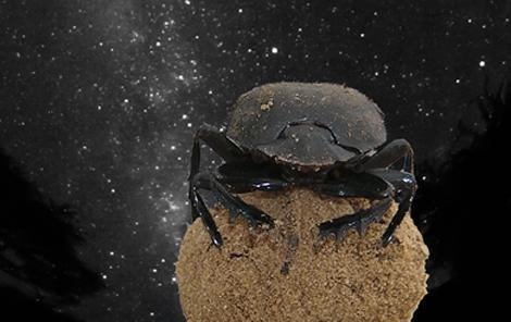 El escarabajo pelotero es el primer animal en orientarse con la Vía Láctea. | Emily Baird