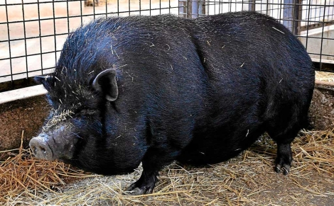 Uno de los ejemplares de cerdo vietnamita que se alojan en Natura Parc. | Alberto Vera