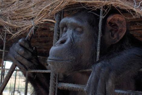 Un chimpancé en un zoológico.   Proyecto Gran Simio.