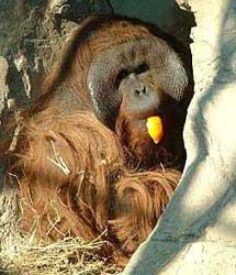 El orangután Boris.  Centro de primates Rainfer.