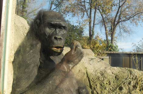 Una gorila come sus excrementos en un zoo.  Proyecto Gran Simio.
