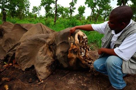Cadáver de un elefante al que le han extraído los colmillos en Camerún. | WWF