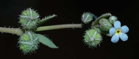 Un ejemplar de 'Gyrocaryum oppositifolium'.   CSIC