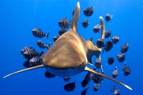 Los tiburones oceánicos ('Carcharhinus longimanus') son muy apreciados por sus aletas. | CITES