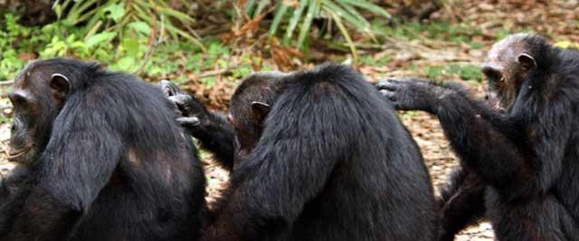 Entre los chimpancés, el éxito social de un individuo depende de su red de alianzas. | E. M.