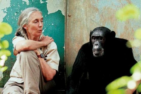 Jane Goodall, junto a un chimpancé.   JGI