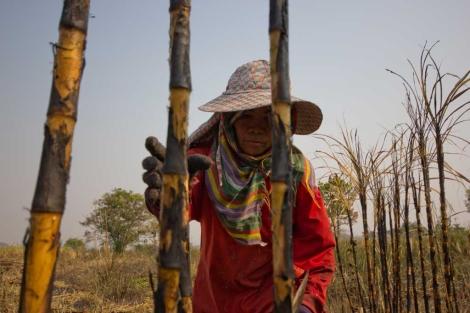 Una mujer camboyana trabaja en un cañaveral