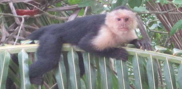 Un mono capuchina en Costa Rica. | Reserva Playa Tortuga