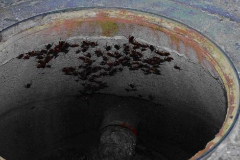 Plaga de cucarachas en una alcantarilla. | ELMUNDO.es