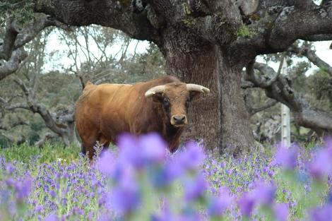 Un toro de lidia entre flores malvas en plena dehesa.