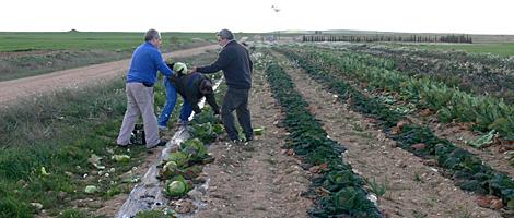 Coliflores donadas por un agricultor tras descartarlas para el mercado. | F. Z.